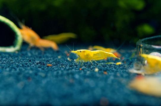 Neocaridina garnele yellow fire im Süßwasseraquarium