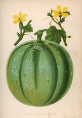 Melon Green 1871