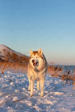 Beautiful, wise and free siberian Husky dog standing on the hill in the withered grass at sunset.