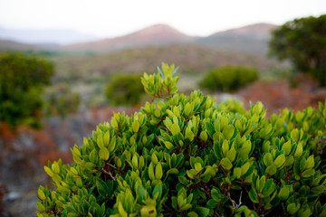 Close up of green plants on Corsica island, France, mountains landscape background. Horizontal view.