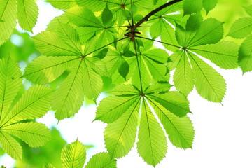 Spring background, green chestnut leaves on bright blurred background