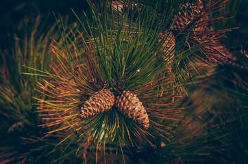 Pine and fir branch