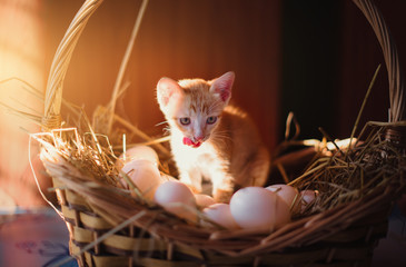 The cat is looking at the duck eggs with hunger. - Image