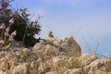 A field lark on the Petra tou Romiou nature Trail - Cyprus (birthplace of Aphrodite)
