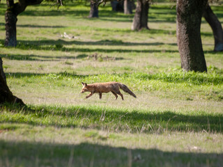 A fox (Vulpes vulpes) on freedom hunting in the forest