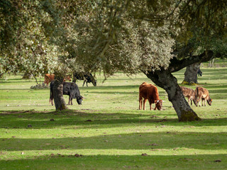 A herd of cows grazing in the dehesa in Salamanca (Spain). Concept of extensive organic livestock