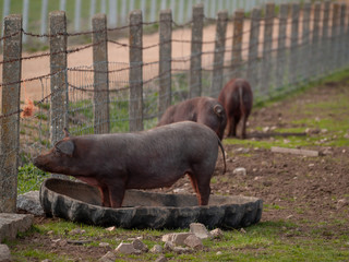 Iberian pork grazing in the spanish dehesa in Salamanca