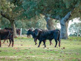 Bulls of toro de lidia breed in the dehesa in Salamanca, Spain. Concept of extensive livestock farming