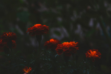 Bright orange flowers contrast with a dark background in the evening. Tagetes in the shade, abstract dramatic style expressing melancholy and sadness.