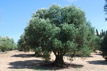 Greece - Kefalonia - Oliven Baum