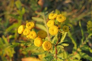 Tanacetum vulgare flowers
