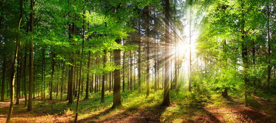 Beautiful rays of sunlight in a green forest Fotomurales