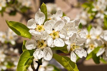 Mispel blüht im Frühling