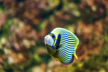 Angelfish in the water