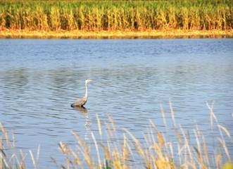 Blue Heron in Pond