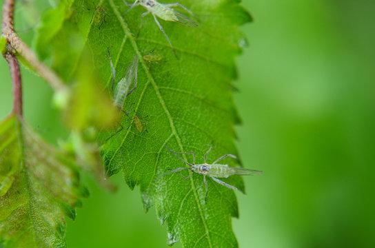 Blattläuse auf Birkenblatt