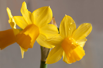 yellow narcissus flowers on a grey background