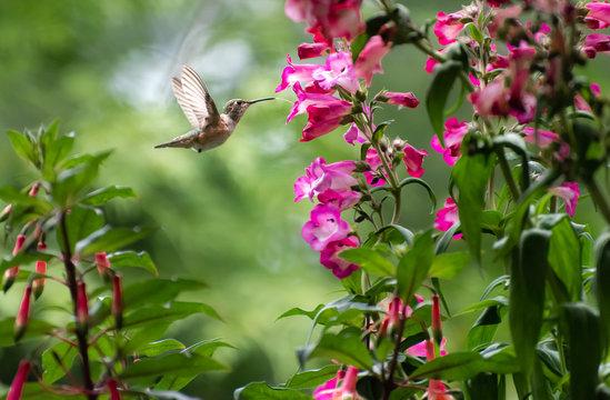 Rufous Hummingbird Tongue 5502