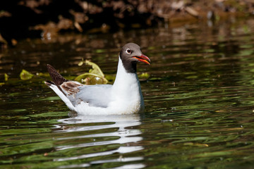 Black-headed gull young swimming on green water. Cute funny common waterbird. Bird in wildlife.