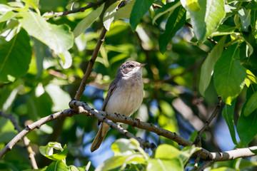 Common whitethroat sitting on branch of bush. Cute little brown songbird. Bird in wildlife.