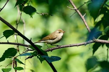 Greenish warbler sitting on branch of bush. Cute little shy songbird. Bird in wildlife.