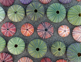 green, pink and violet colored sea urchin shells on dark sand beach