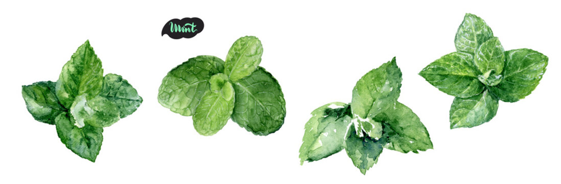 Watercolor hand drawn mint leaf illustration. Isolated on white.