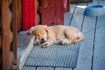 Golden Retriever puppy sleeping on porch