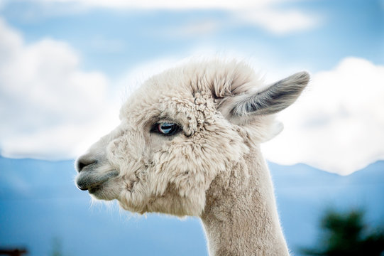 Close up of alpaca