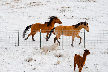 Horses running with dog and alpaca on farm during winter