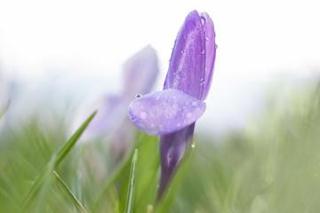 Frühling mit Krokus in weichem Bildlook