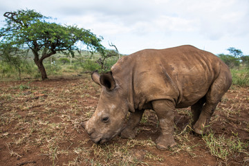 White rhinoceros standing on grassy landscape