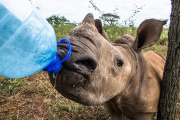 White rhinoceros drinking water from water container