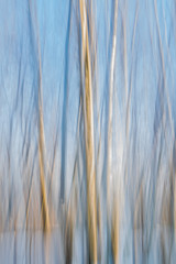 Abstract blurred winter birch trees.  Blue, white and yellow  striped background.