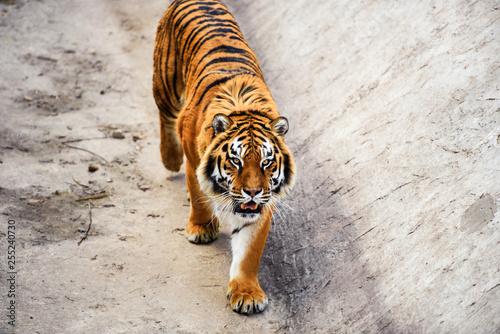 Wall mural Beautiful Amur tiger