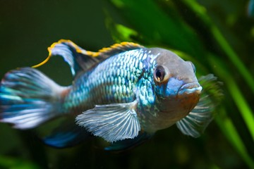 freshwater spectacular and powerful male Nannacara anomala neon blue cichlid showing its spawning behaviour