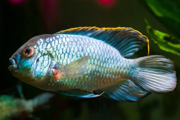 freshwater spectacular and powerful male cichlid Nannacara anomala neon blue in spawning coloration, side view
