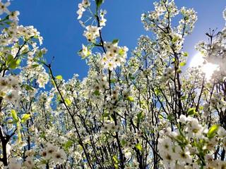 Wall Mural - Bradford pear blossoms against a blue sky