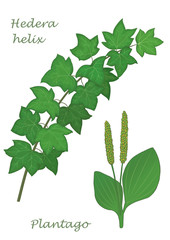 Medicinal herbs collection. Vector hand drawn illustration of plants hedera helix and plantago