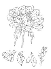hand drawn illustration of peony flower. floral line art drawing. Use for background, scrapbooking, textiles, paper, cards, invitations, wedding.
