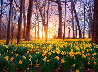 Daffodils in forest