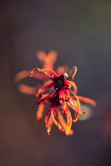 Red and orange witchhazel flowers in winter