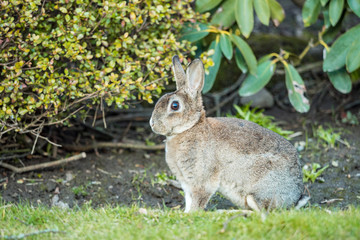 side portrait of beautiful brown rabbit sitting on the green grass besides bushes