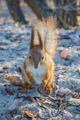 A European squirrel eats Nut in a park on a sun day.