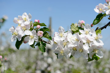 apple blossom in orchard