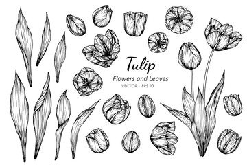 Collection set of tulip flower and leaves drawing illustration.