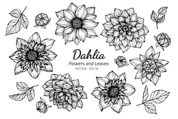Collection set of dahlia flower and leaves drawing illustration.