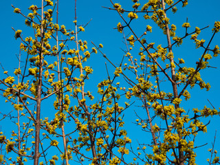 branches of a tree, yellow flowers against blue sky