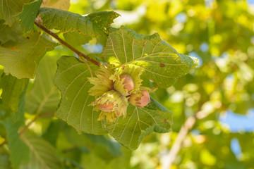Hazelnut grows on the hazel tree