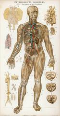 Organs of Circulation